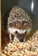 hedgehog stands on sawdust