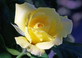 blooming yellow rose in the garden