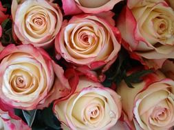white pink roses in a wedding bouquet