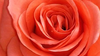 salmon pink rose bud