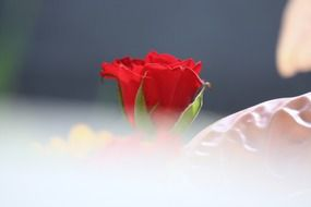 Photo of the red rose