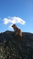 golden retriever on rock