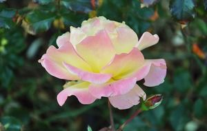 pink yellow garden rose