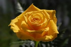 bright yellow rose in the garden