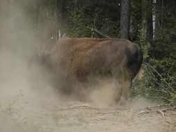 bison bull stands in cloud of dust, canada, yukon