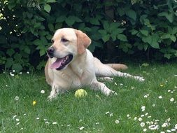 golden labrador dog lying on meadow