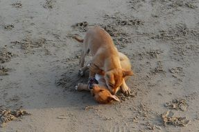 puppys playing on the beach