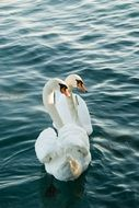 pair of white noble swans in the water