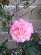 pink rose on a bush near the wall
