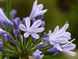 Agapanthus is a type of blue lily