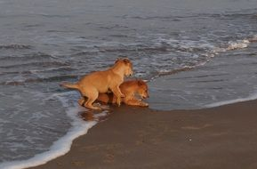 Brown puppies playing on the beach