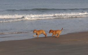 frolicking puppies on the beach in india