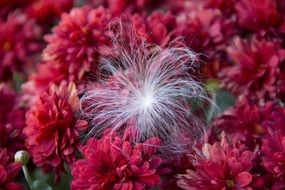 white fluffy seed on red chrysanthemum