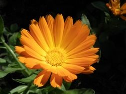 calendula, orange flower