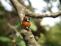 Ladybugs on the tree