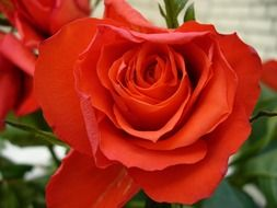 red rose like love