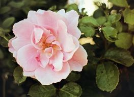 light pink rose with green leaves in the garden