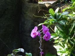 moth orchid with purple flowers in botanical garden
