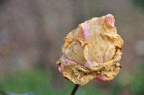 Withered rose on a stalk