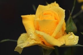 yellow rose raindrop blooms flower nature