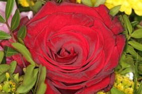 macro photo of saturated red rose