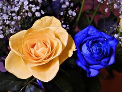 blue and yellow rose on a dark background