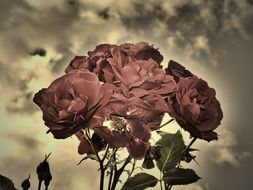 Sepia photo of the roses
