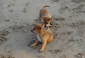 Brown puppies playing on the sand