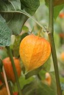 Orange physalis flowers
