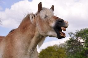 Cute horse laughing