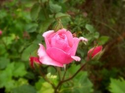strikingly beautiful rose