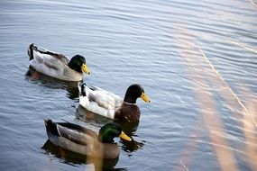 three beautiful ducks in the pond