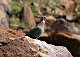 Picture of brown dove bird
