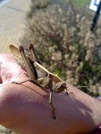 brown grasshopper on hand
