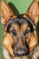 nice german shepherd dog