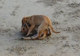 playing dogs on the beach in Karnataka