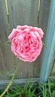 tender rose on the background of the fence