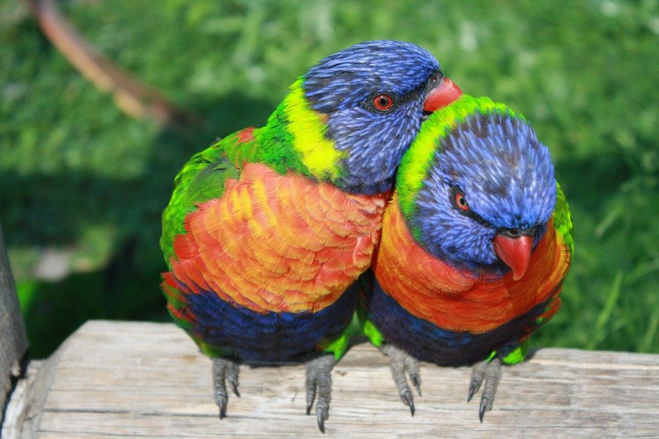 two rainbow lorikeets on a branch- exotic birds