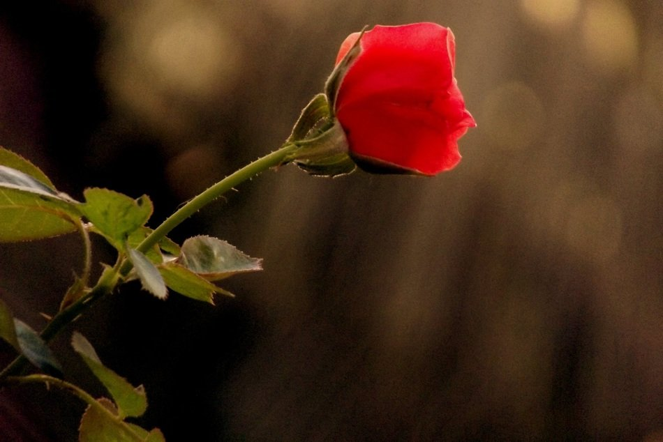 red rose bud on a blurred background