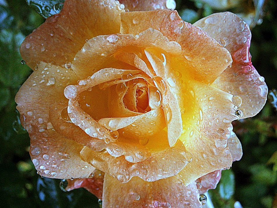 yellow rose flower in dew drops