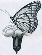 Butterfly and flower Pencil Drawing