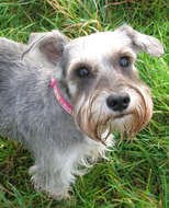 Miniature Schnauzer, grey dog on lawn looking up