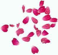 pink rose petals on a white background