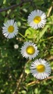 white daisies at spring