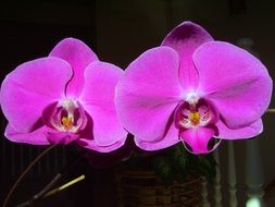 orchid phalaenopsis friendship