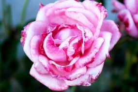 pale pink rose closeup