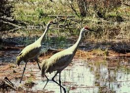 two red herons among the swamps