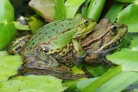 Green frogs in the pond