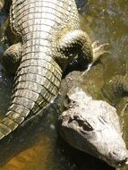 two crocodiles in the water in the bright sun