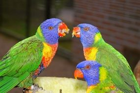 eating three birds parrots colorful nature